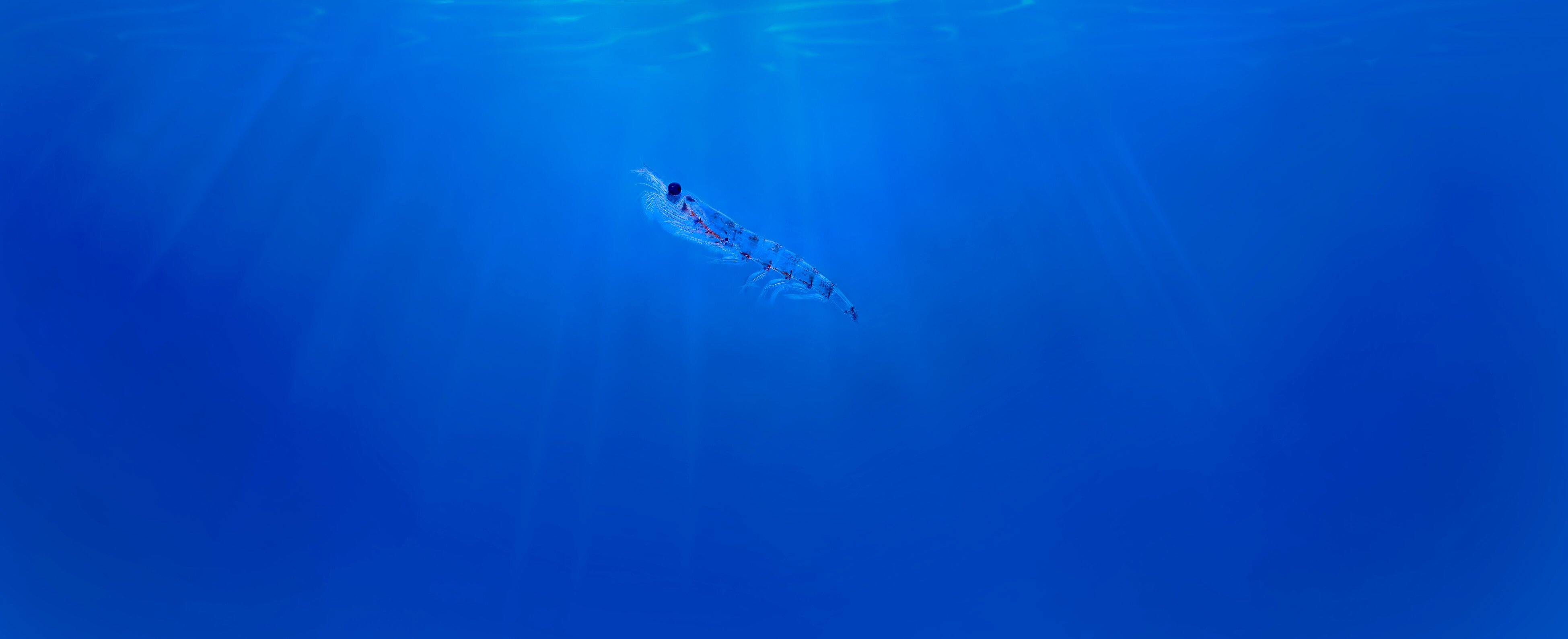 Krill-in-blue-water.jpg