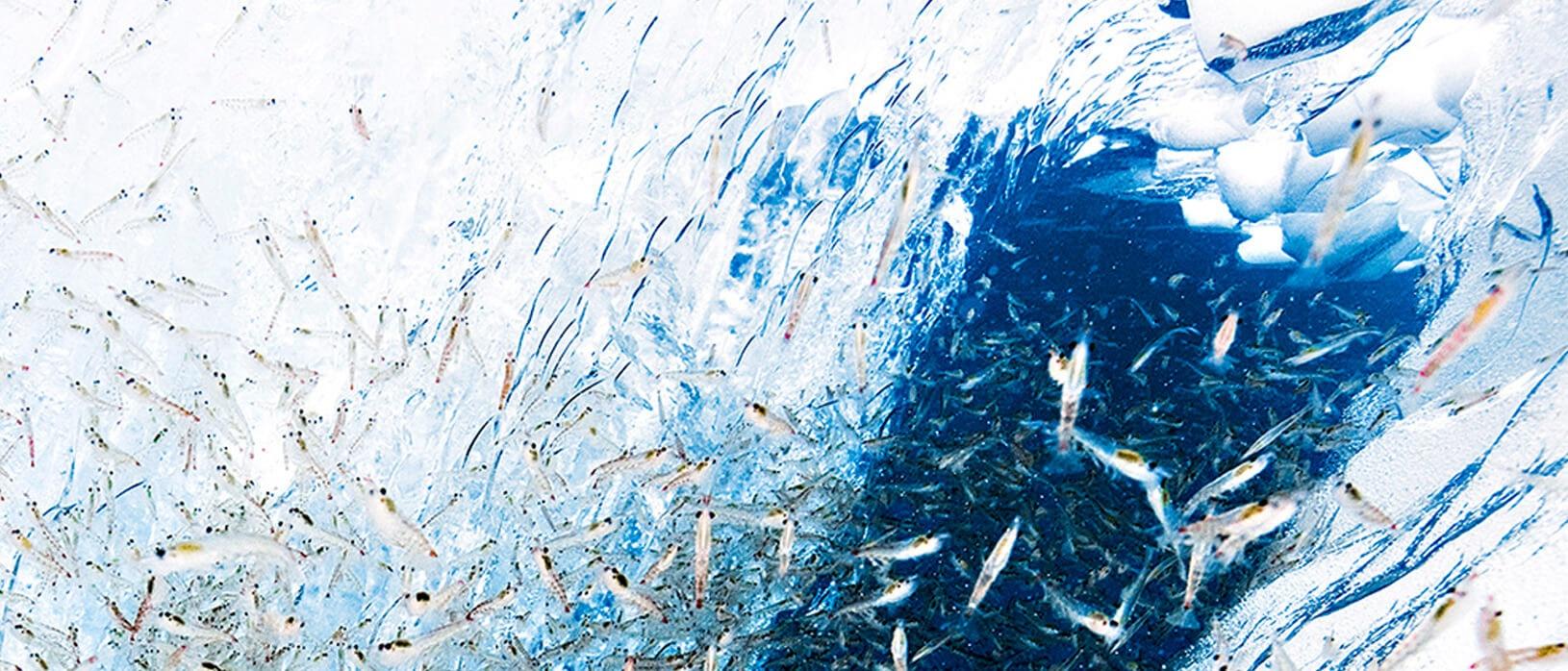 Antarctic Krill ingredient Pet food.jpg