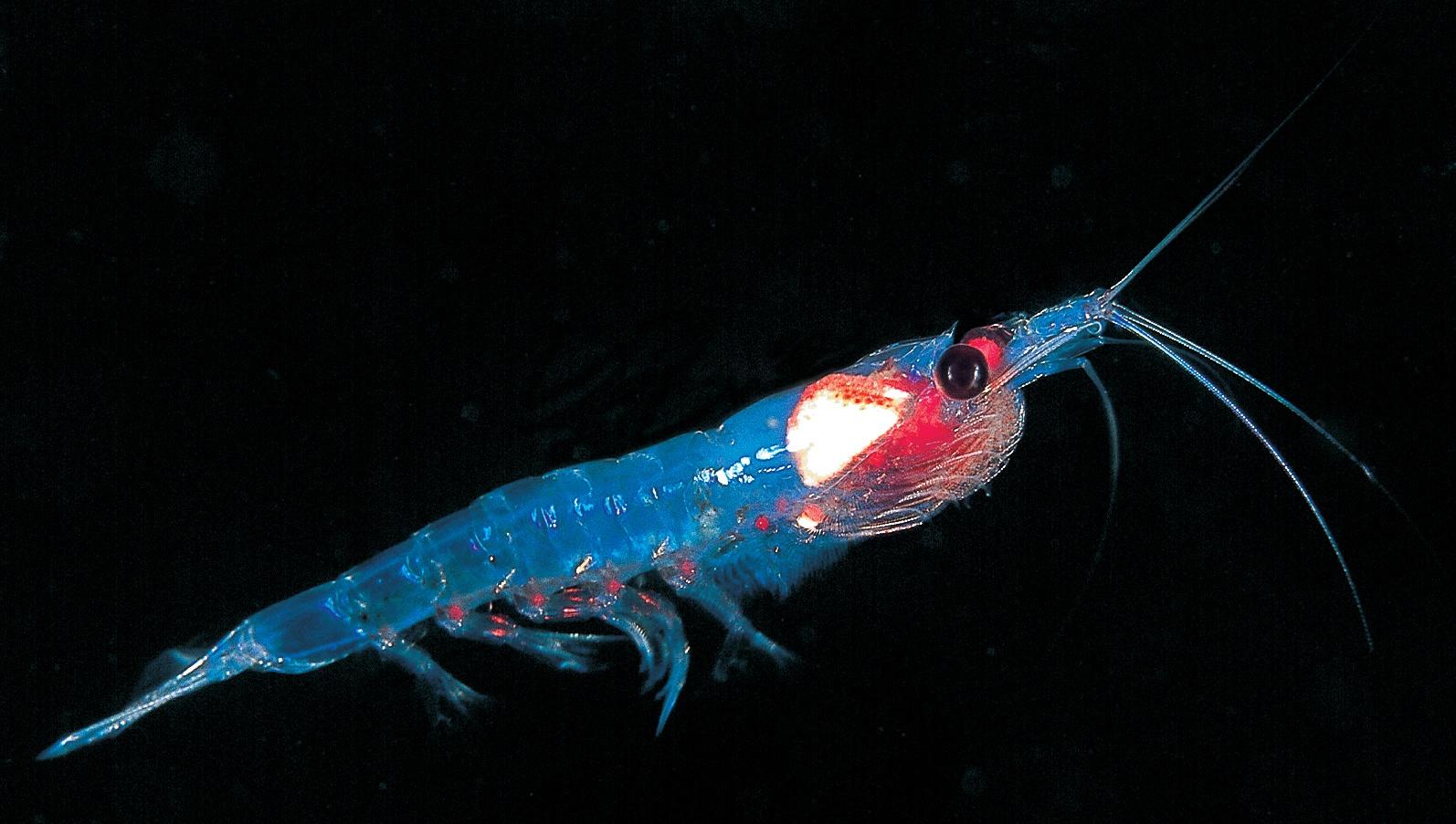 Anarctic krill.jpg