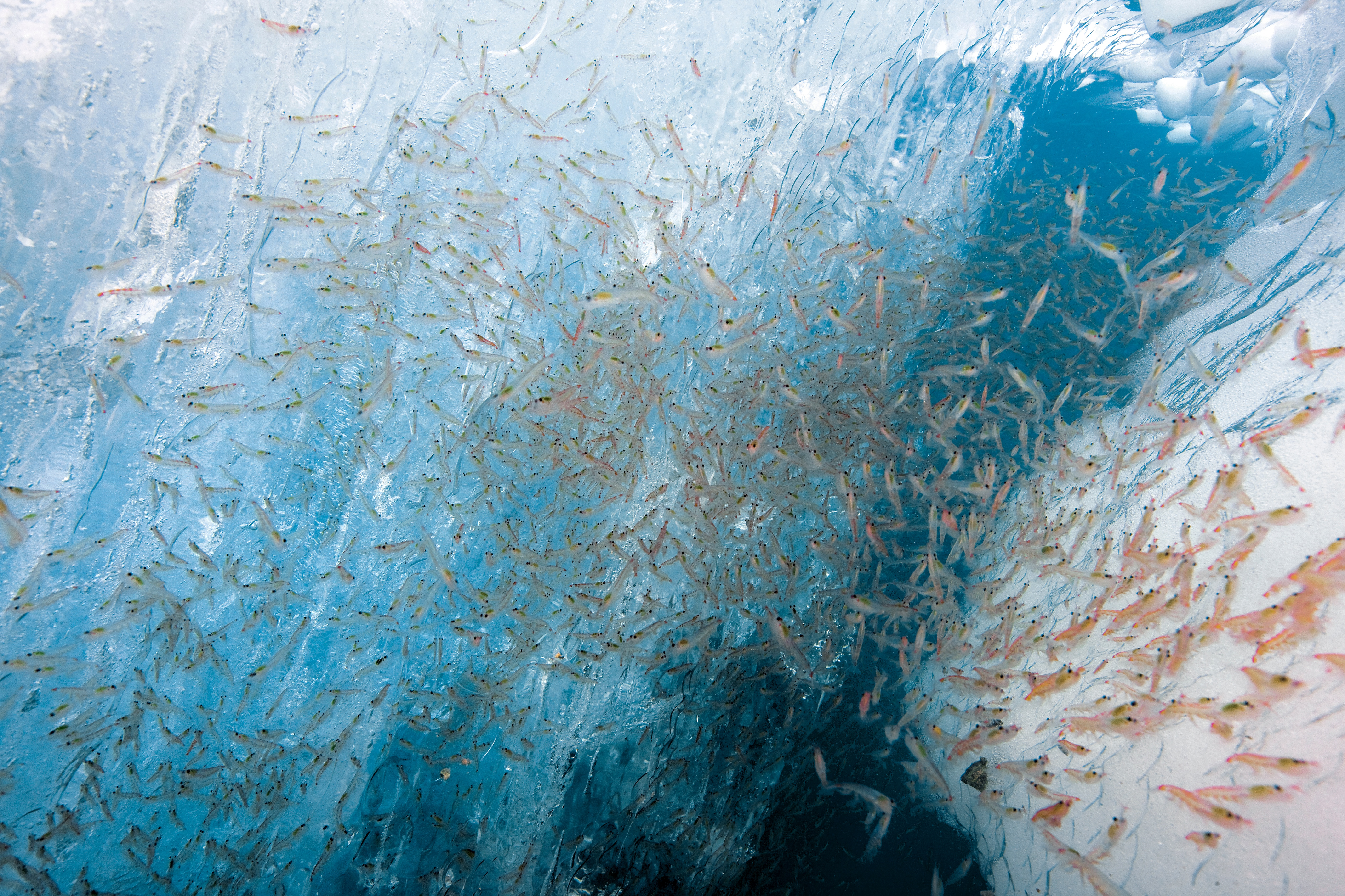 Antarctic krill under ice.jpg